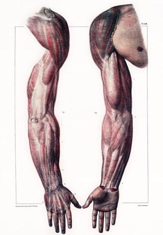 ML28 Piel humana anatómica médica cuerpo brazo mano músculos
