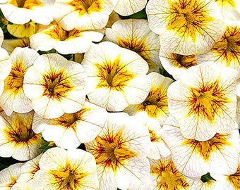 Rare Superbells Frostfire Calibrachoa Petunia Annual Flower Seeds, Professional Pack, 100 Seeds / Pack, Large Blooming Flower
