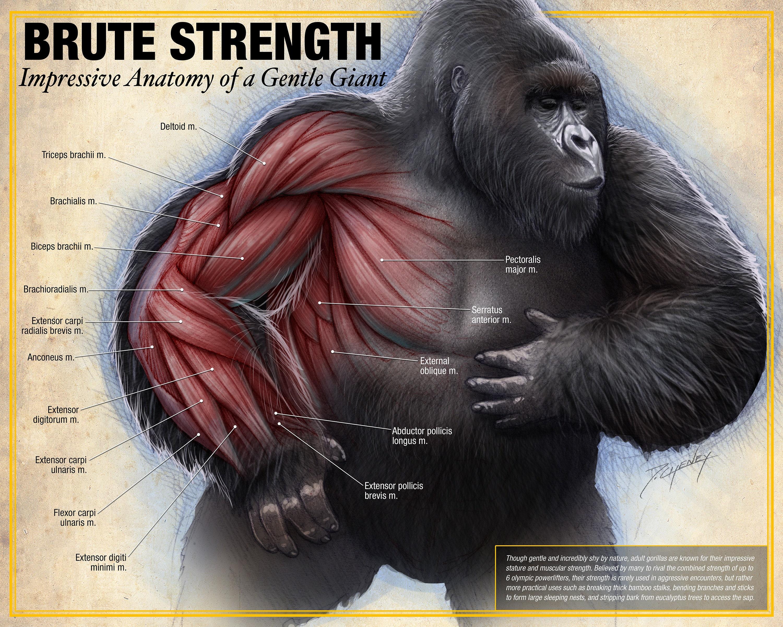 Brute Strength Gorilla Anatomy Poster