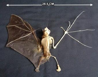 Chiroptera: Bat Cynopterus brachyotis half skeleton-spread