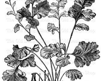 Botanical Clip Art Vintage Garden Plant Printable Adiantum Capillus Veneris Daphnites Illustration Digital Download PNG JPG Image