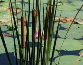 Cattail Seeds, Typha latifolia, Pond Plant, Marsh Plant, Marginal Aquatic, Bog Plant, Perennial