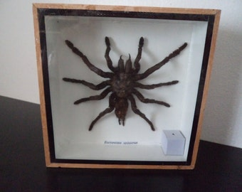 Real Huge Mounted Tarantula Spider Boxed Display Eurypeima Spinicrus Taxidermy Entomology Arachnology