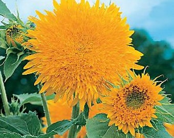 Sunflower Giant Sun Gold (Helianthus annuus) * 50 Seeds ...seeds galore