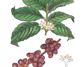 Original Art Created With Colored Pencil  - Coffee Plant - Botanical Drawing