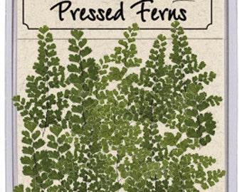 Maidenhair Fern 20 Pieces