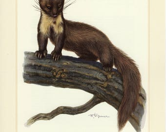 Vintage lithograph of the European pine marten from 1956