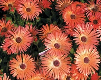500 Seeds Ice Plant Orange Livingstone Daisy flower seeds iceplant