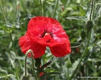 Poppy- Shirley Corn- Red- 500 Seeds