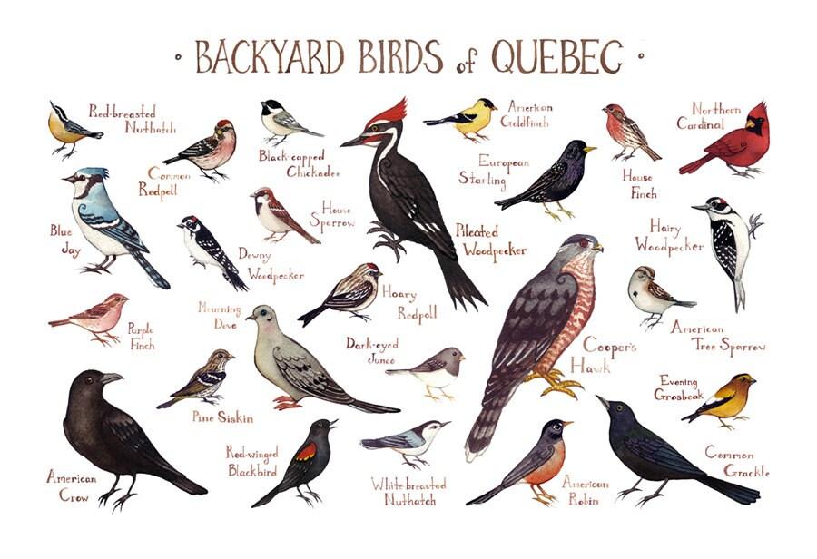 Quebec Backyard Birds Field Guide Art Print / Watercolor