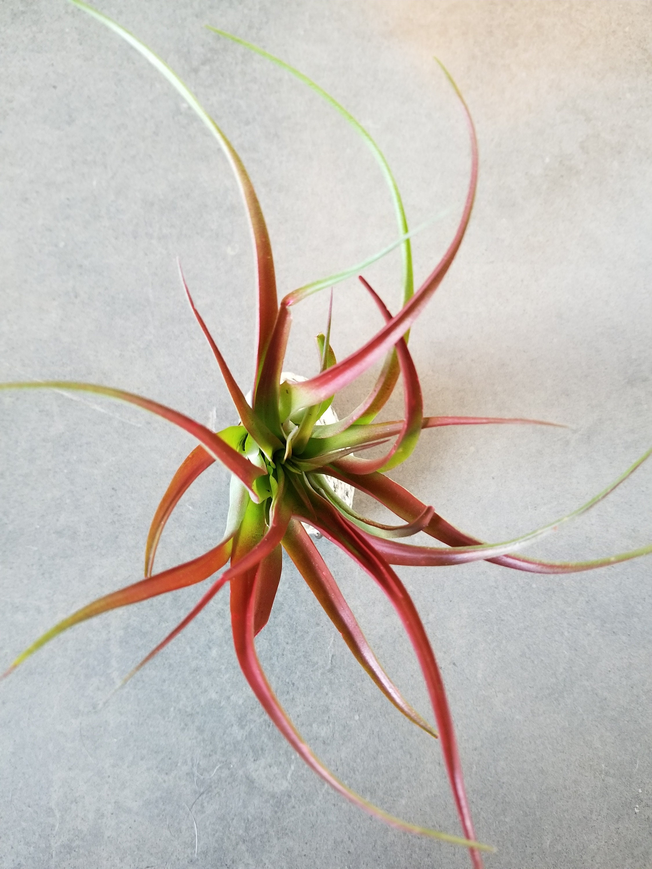 Tillandsia Red Abdita Air Plant Display Sold By Groundandayr
