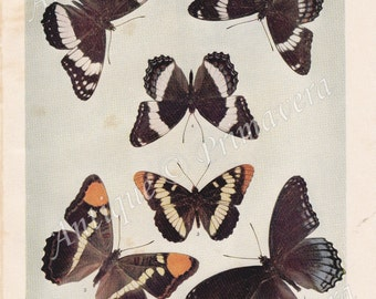 1902 Charming Basilarchia or Admiral and Adelpha or Brush-footed Butterflies Original Antique Plate of Color-Photograph