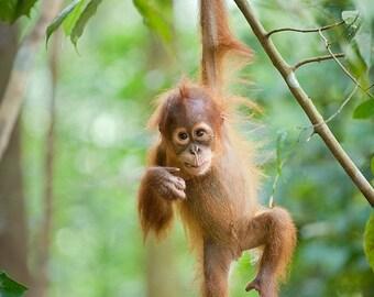 JUNGLE BABY ANIMAL Nursery Prints , Set of 3 Photos, Orangutan, Gorilla, Chimpanzee, Baby Animal Prints, Nursery Wall Art, Child Room