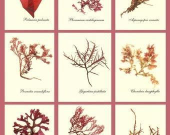 Seaweed art, Pressed seaweed, Ocean Algae Pressing, Miniature Seaweed Herbarium, Set of 27, ACEO size, Botanical sea weed Art, Made to ORDER