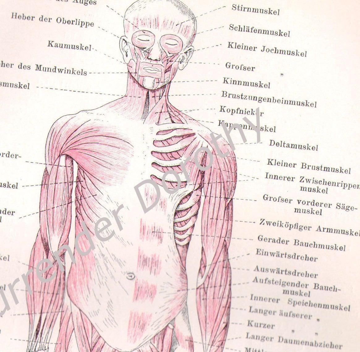 Muscular System Chart Human Anatomy 1903 Vintage Edwardian
