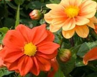 25+   DAHLIA OPERA ORANGE  Double & Semi-double Flower Seeds  / Attracts Hummingbirds