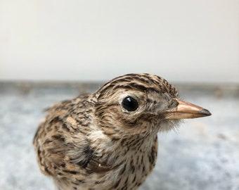 Vintage Taxidermy Bird  Songbird