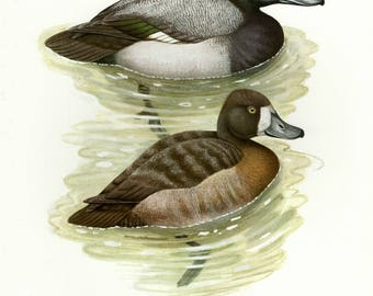 Vintage lithograph of the greater scaup from 1956