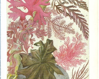 Vintage Flowerless Plants Coloured Book Plate - Seaweeds - Ideal For Framing # 23