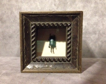 Framed Insect - Sawtooth Beetle in a Rustic Shadowbox