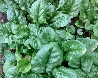 Bloomsdale Long Standing Spinach Heirloom Garden Seed Non-GMO Naturally Grown Open Pollinated Gardening