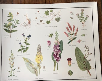 VINTAGE School Wall Chart, Poster, FIGWORT, FOXGLOVE, Educational Print, Nature Study, Wildflowers, Flowers