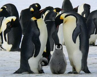 Emperor Penguins. Photographic Wildlife Print/Poster. (003996)