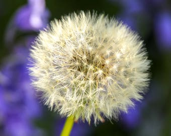 Photographic Floral Greeting Card  - A portrait of a dandelion seed head. (Ode)