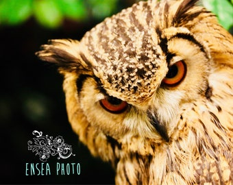 Horned Owl - photo print 8x10