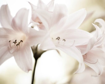 "Pale pink botanical print, flower photograph, amaryllis print, soft dreamy romantic flower wall art, pale pink cream ivory art ""Pink Ladies"""