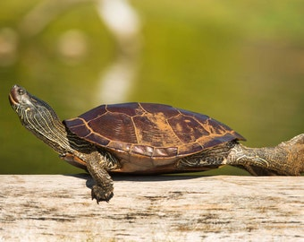 Turtle Photo Wall Art for Home and Office