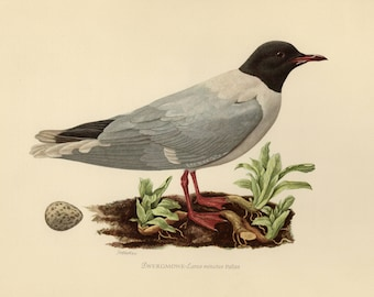 Vintage lithograph of the little gull from 1953