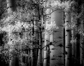 Aspens trees photo, Colorado art, aspen tree wall art, Black White photo,black white aspens, rustic wall decor, log cabin decor | Light Dark