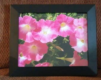 Petunias in Bloom