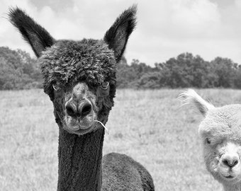 Alpaca Print, Animal Photography, Two Alpacas, Couple, Photograph, Animal Art, Black & White, Monochromatic Art, Animal Wall Decor - Howdy