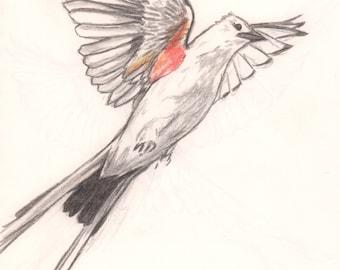Scissor Tail in Flight w/Color