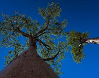 Madagascar Baobab Tree, Baobab Photography, Baobab Print Art, Baobab Tree Print, Baobab Wall Art, Baobab Poster, Madagascar Photography
