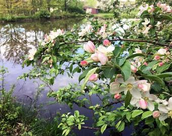 Spring Apple Blossoms Digital PRint