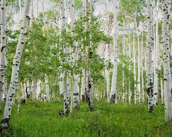 Soft light on and Aspen Grove in Spring, Natural Light, Fine Art Photography, Nature Photography, Utah, Treescape, Landscape, Wall Art