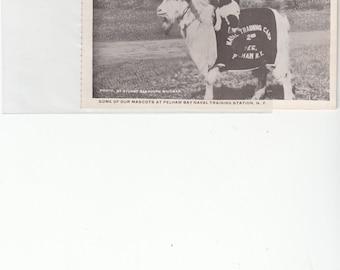 Antique Goat Poses W Sailor Hat And Banner For Pelham ,Dog On BackTraining Station New York Postcard