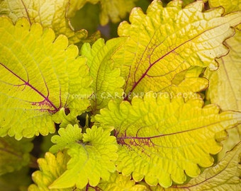Coleus Wizard Pineapple Flower Seeds / Annual 50+