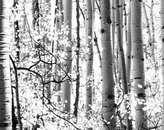 Aspens trees photo, Colorado art, aspen tree wall art, Black White photo, living room decor, rustic wall decor, log cabin decor, nature art