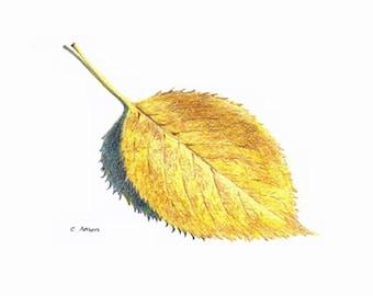 5 x7 Original Hand Drawn Colored Pencil Sketch of an autumn leaf
