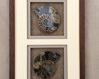 Framed Fossil Ammonite from Madagascar