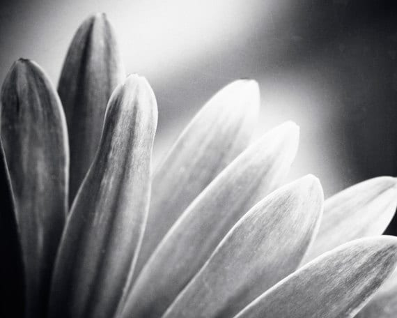Black and white photography flowers grey gray daisy black