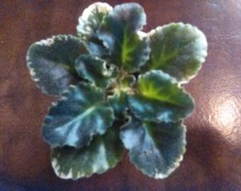 African Violet - Wild Irish Rose (Vintage )