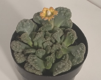 2in Titanopsis Calcareum