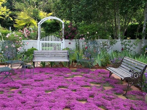 Creeping thyme ground cover 1000 seeds fragrant herb pink blooms creeping thyme ground cover 1000 seeds fragrant herb pink blooms perennial zones 4 to 9 sun or light shade deerproof thymus serpyllum from mightylinksfo Image collections