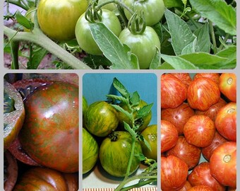 Four Zebra Tomato Collection Heirloom Garden Seed Non-gmo Fun for Kids Naturally Grown Open Pollinated Gardening