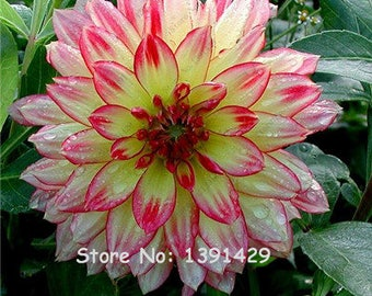 Dahlia Bulbs, (not Dahlia Seeds), Holland Dahlia Flower 3 Bulbs (item No: 7)
